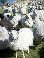 Many islands in Norway are only populated by wild sheep.