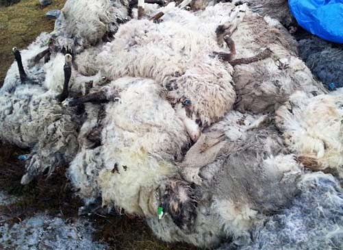 104 sheep died a mysterious mass death in Northern Norway.