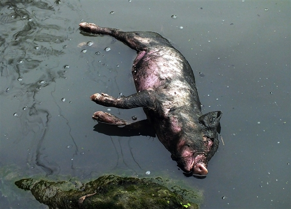 Dead pigs in the drinking waters of the city of Shanghai.