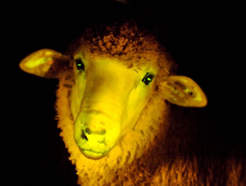 This gen manipulated lamb ]is yet another sign of how low man has fallen.
