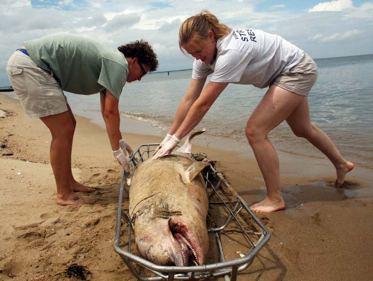 One of the 83 that's washed up on Virginia's beaches.AP Photo/The Virginian-Pilot, Dorothy Edwards